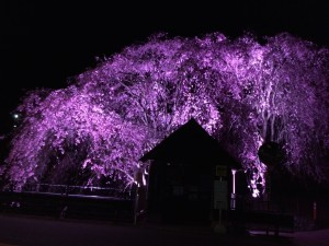 夜桜見物! How wonderful!